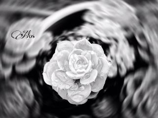 photography hdr nature flower black & white