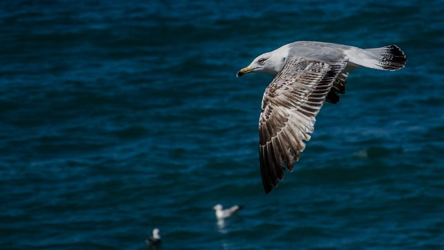 Gallery of seagull images