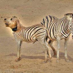 animalhybrid zebra dog