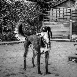saluki blackandwhite erinhounds sighthounds adoptdontshop